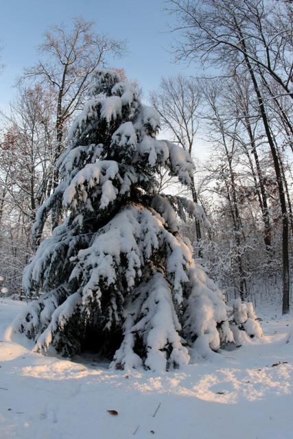 Snowy Pine 12 08 BLOG1