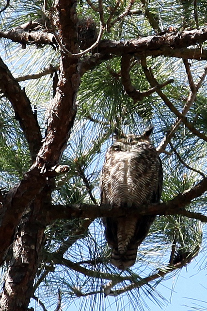 Great Horned Owl 2 08 09 Dunedin FL 1BLOG