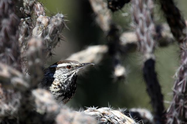 CactusWren 1