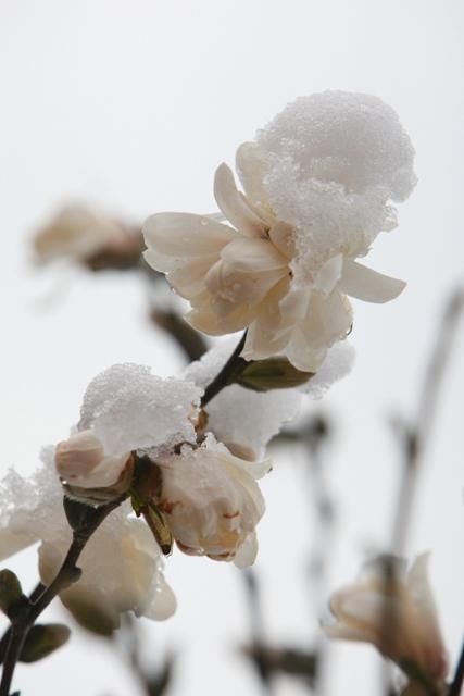 Star Magnolia at GCC 040609 1blog