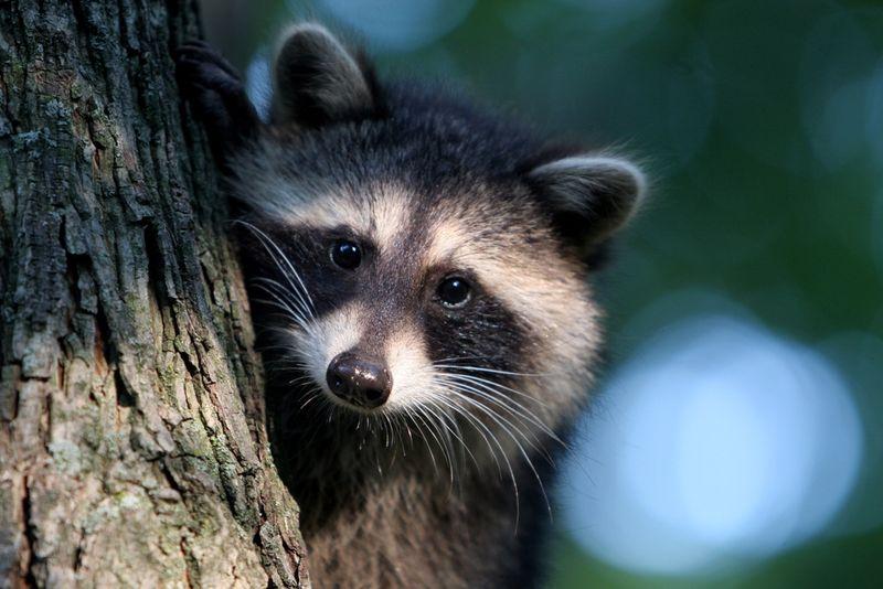Raccoon at HOME blog