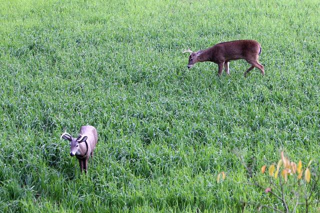 Buck w Decoy 1 blog