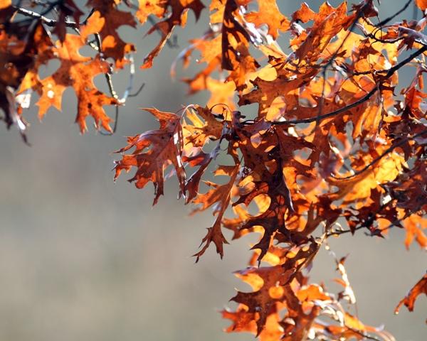 Oak Leaves 110809 10 blog