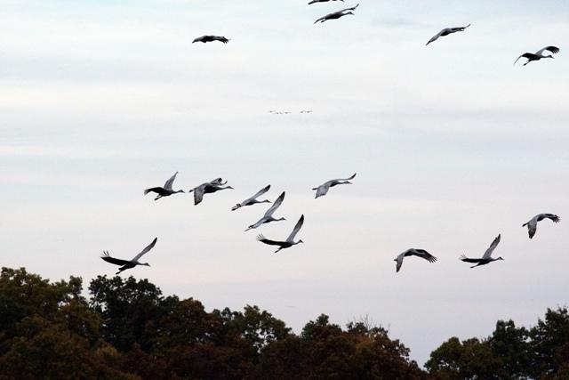 Sandhill Cranes 102109 PM 4 blog