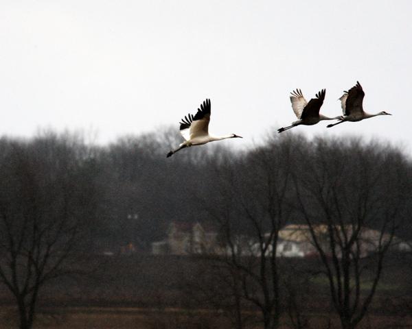 Whooping Crane 120409 4c BLOG