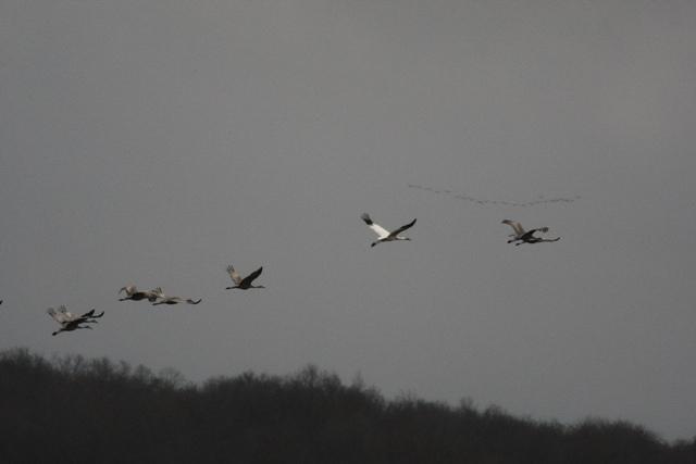 Whooping Crane 120409 9 blog
