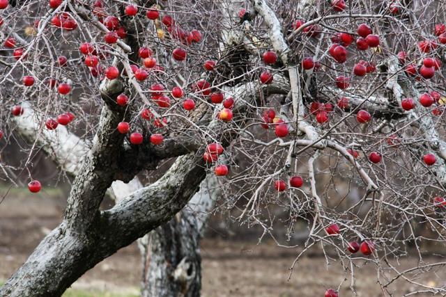 Apples 120609 2