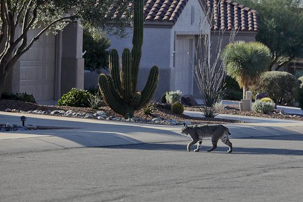 Bobcat 021310 Arizona 6 blog