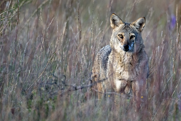 Coyote 100910 2b blog