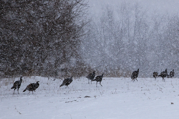 Turkeys 121410 HOME 1 blog