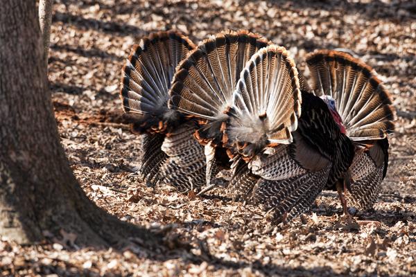 Turkeys 032611 4 Toms 1 blog