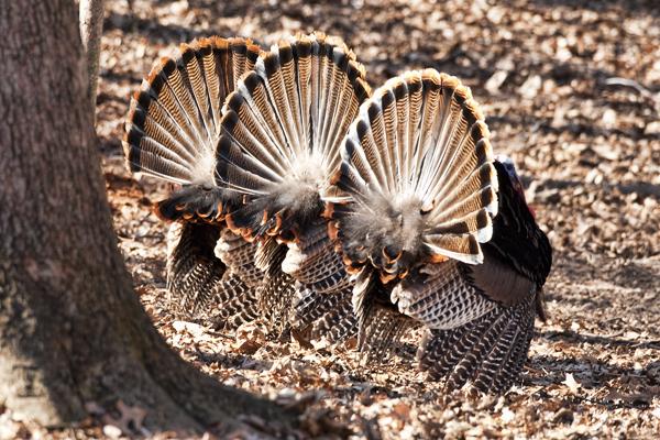Turkeys 032611 3 Toms 1b blog