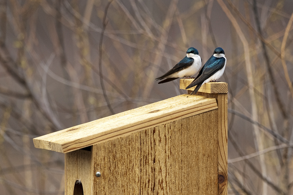 Tree Swallow 042111 Tachycineta bicolor 4b blog