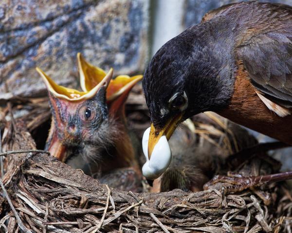 Robin's Nest 052311 Feeding Babies 1b  blog