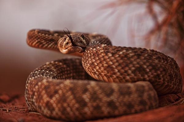 Rattlesnake 101010 TEXAS 13b blog