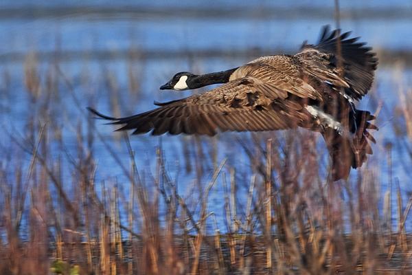 Canadian Goose 050911 Landing 1c blog