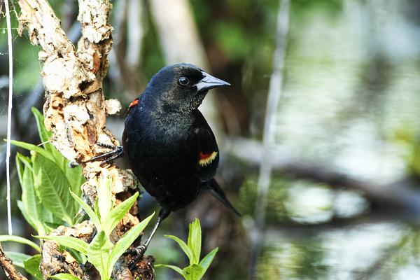 Redwing Blackbird 05 2011 Agelaius phoeniceus 1b blog
