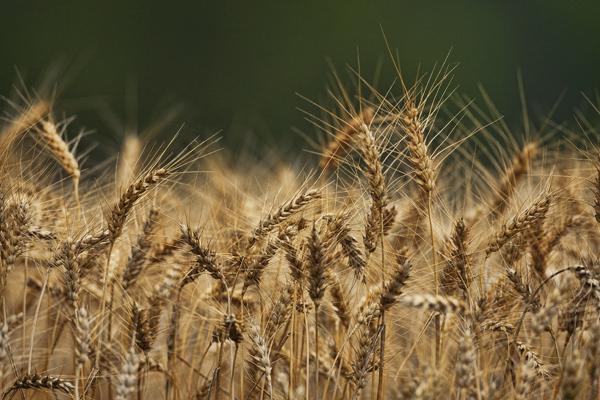 Wheat 070611 Spiderweb 3blog