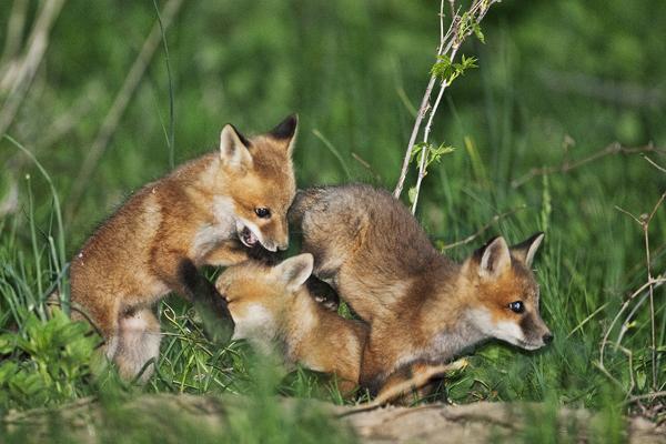 FOX KIT 051011 Fox 18b blog