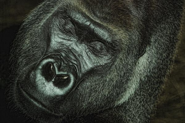 ZOO 090711 Mountain Gorilla 2 blog