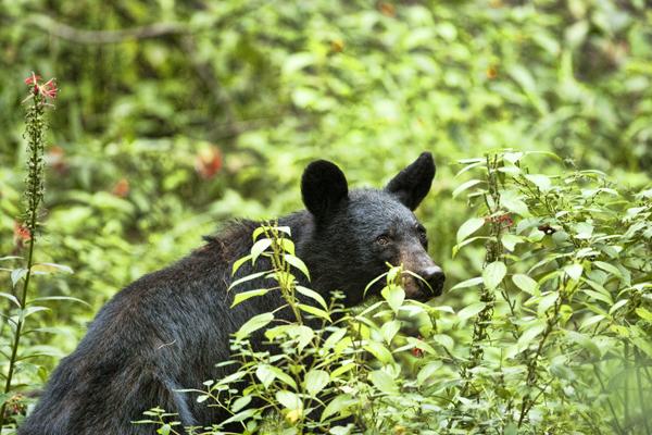 Smokies 090911 Bear 1 blog