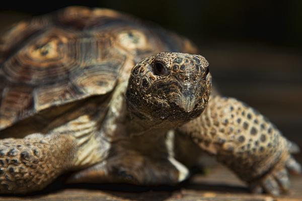 WEKIWA SPRINGS 050211 Gopher Tortoise 4 blog
