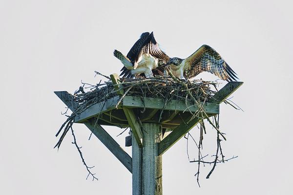 Osprey POTATO CREEK 070511  4b blog