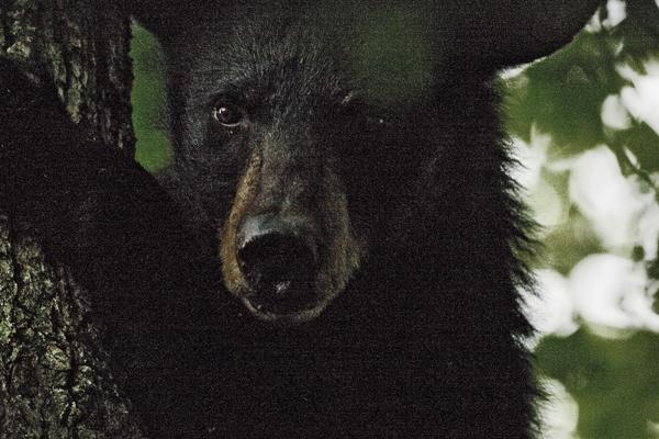 Smokies 090911 Bear 9 blog