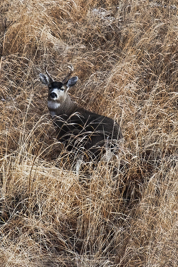 Blacktail Buck 110611 Kodiak 1b blog