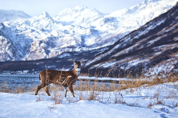 Blacktail Deer Nov2011 Kodiak 4 blog