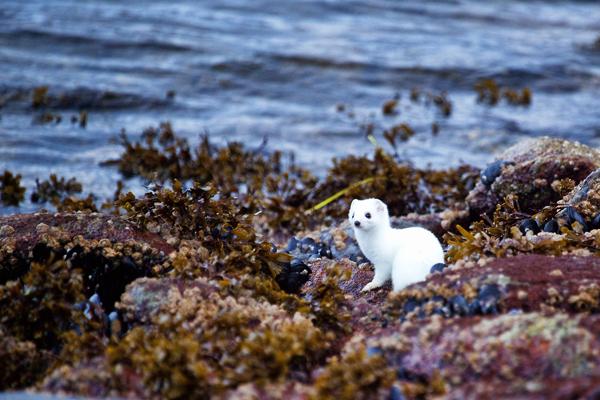 White Weasel 110511 Kodiak 1c blog
