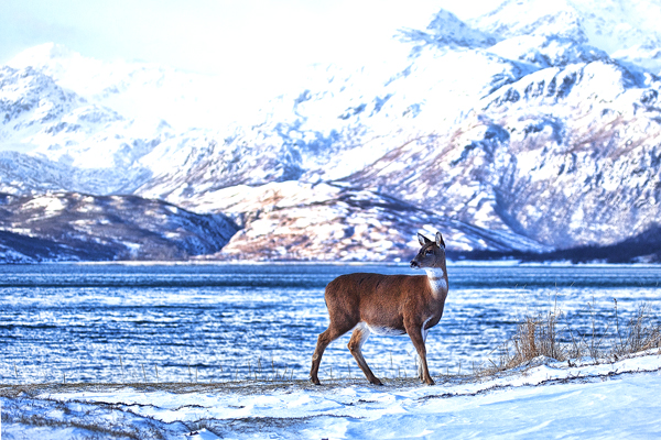 Blacktail Deer Nov2011 Kodiak 7 blog