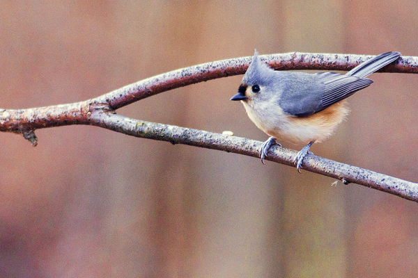Tufted Titmouse 122511 HOME  1b blog
