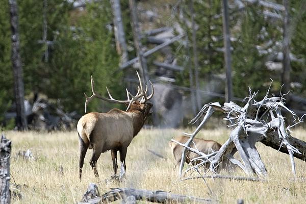 Bull Elk 091310 Yellowstone 1 blog