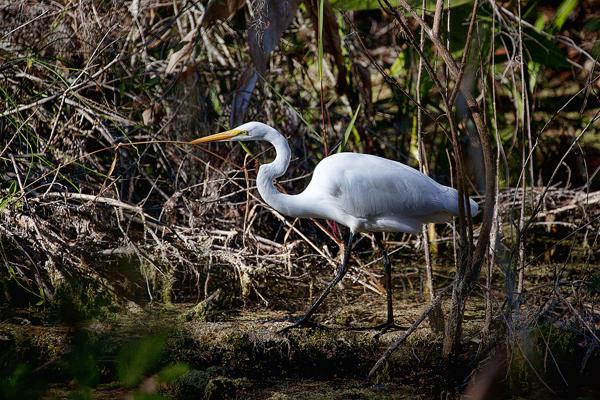 Great White Egret 010712 Casmerodius albus 5 blog