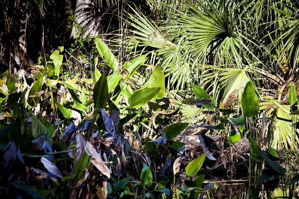 Alligator 11ft 010712 Big Cypress Bend 2c blog