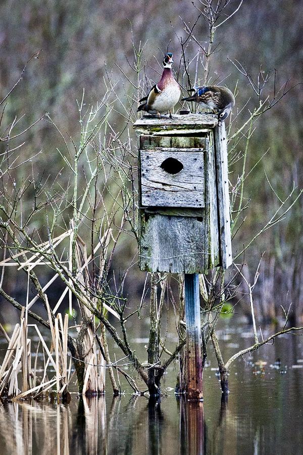 Wood Ducks 031812   6b blog