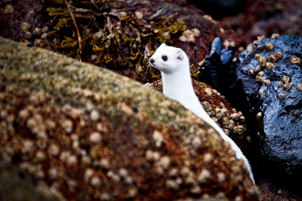 White Weasel 110511 Kodiak 222a blog