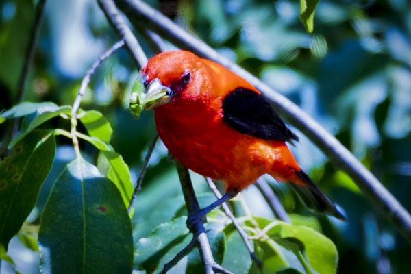 Scarlet Tanager 051712  3 blog
