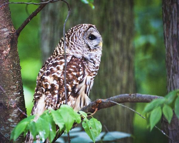 Barred Owl 070412  1b blog