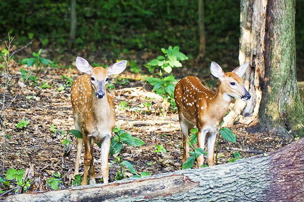 Twin Fawns July 21, 2012   1 blog