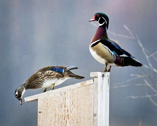 Wood Ducks 031812   1d blog