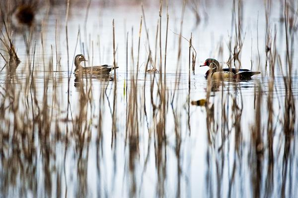 Wood Ducks 031812   3b blog