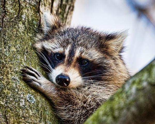 Raccoon 030212 Home   1b blog