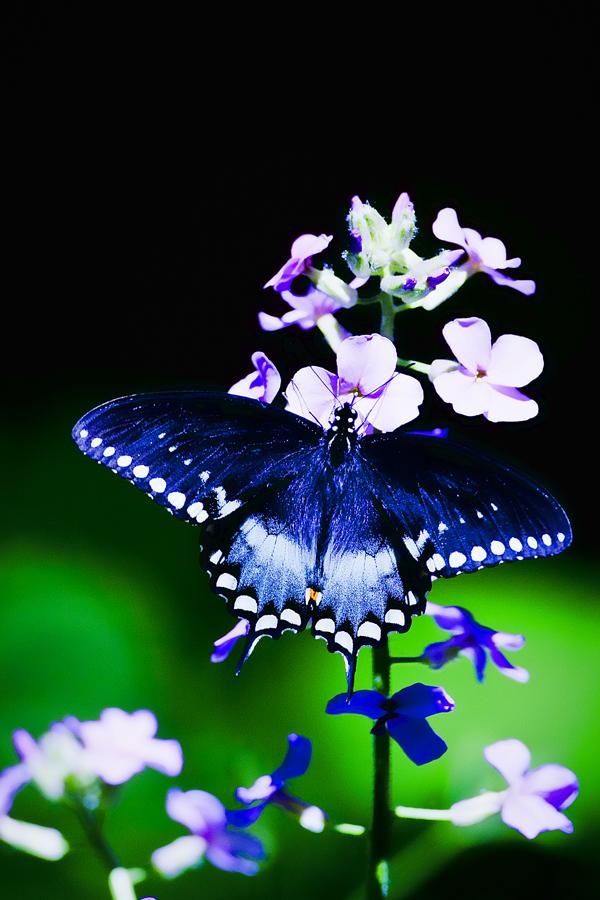 Black Swallowtail 051712 Papilio polyxenes 1blog