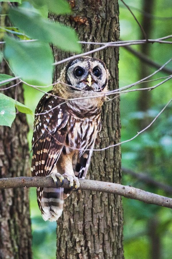 Barred Owl 070412  2b blog
