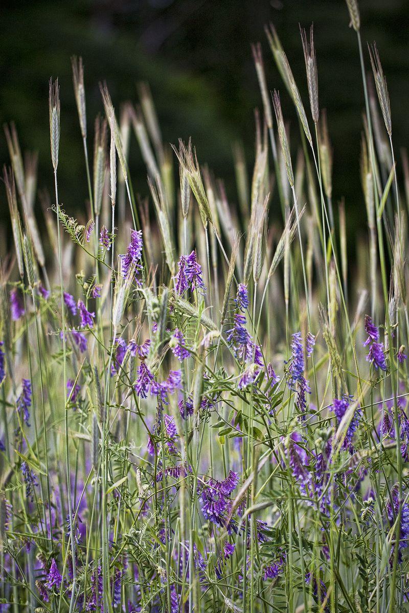 WEEDS 052512 Hairy Vetch Vicia villosa  1blog