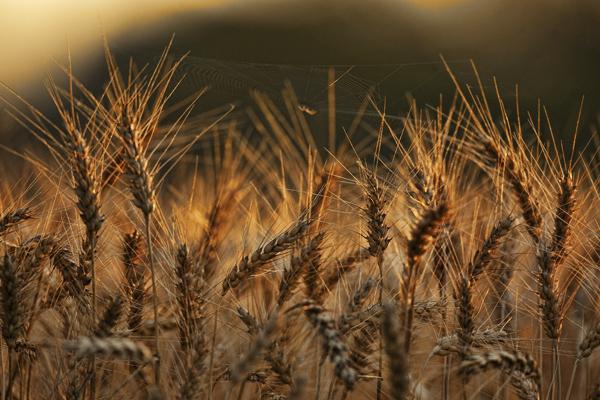 Wheat 070611 Spiderweb 1 blog