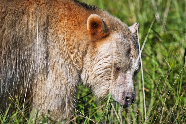 Spirit Bear 090712  52b blog