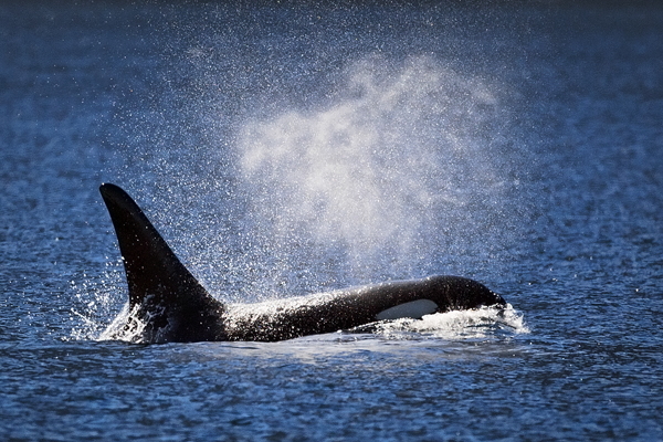 ORCA 091312  Johnstone Strait  3 blog